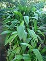 Curculigo angustifolia dsc03707.jpg