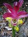 Curcuma zedoaria (Scott Zona) 001.jpg