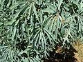 Cussonia paniculata, loof, a, Krugersdorp.jpg