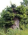 Cut down oak tree Woodland Trust wood Theydon Bois Essex England.JPG