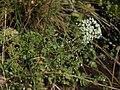 Cutleaf water parsnip, Berula incisa (15935220214).jpg
