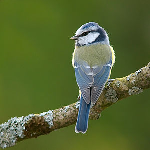 Blue Tit, (Cyanistes caeruleus) It's an image ...