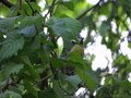File:Cyanistes caeruleus sings - 01.webm