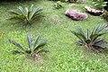 Cycas revoluta 17zz.jpg