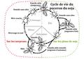 Cycle de vie du puceron du soja.png