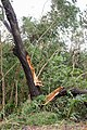 Cyclone Marcus in Darwin – Snapped tree in Stuart Park 02.jpg