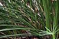 Cyperus alternifolius 1zz.jpg