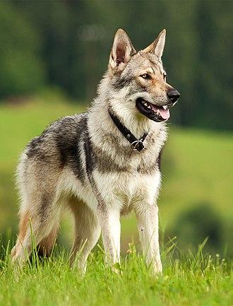 Czechoslovakian Wolfdog - Czechoslovakian Wolfdog
