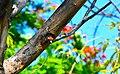 D85 8948 Coppersmith barbet นกตีทอง โดย ไตรสรณ์ ไตรบุญ.jpg