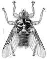DIPT Hippoboscidae Hippobosca equina.png
