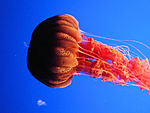 "DSC26402, Black Sea Nettle (""Chrysaora Achlyos""), Monterey Bay Aquarium, Monterey, California, USA (5513975178).jpg"