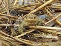 DSCN2492- Eine Erdkröte im Schilf am Ilmensee.jpg