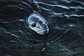 DSC 3274 Leopard seal.jpg