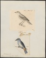Dacnis speciosa - 1700-1880 - Print - Iconographia Zoologica - Special Collections University of Amsterdam - UBA01 IZ19000379.tif