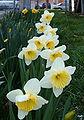 Daffodil km 01.jpg