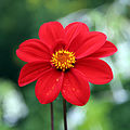 Dahlia at Clavering Essex England 1.jpg