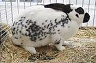 Dalmatiner-Rex Kaninchen.jpg