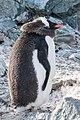 Danco Island Antarctica Gentoo Penguin 6 (33461124118).jpg