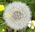 Dandelion seeds, Stewarton.JPG