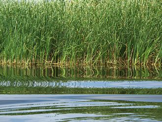 Flora of Romania - Reeds in the Danube Delta