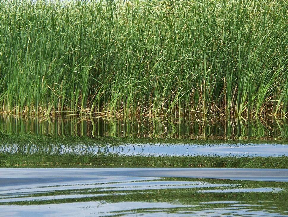 Danube Delta Reeds