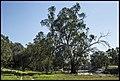 Darling River River Gums-2 (21373720811).jpg