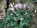 Dayr Aban Cyclamen Flower.JPG