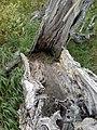 Dead birtch tree near Gaņģu cemetery - panoramio.jpg