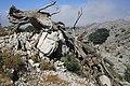 Dead cedar struck by lightining - panoramio.jpg