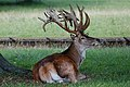 Deer - Woburn Abbey Deer Park (36274519380).jpg