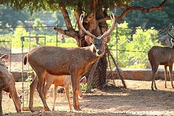 Deer 2 at Indira Gandhi Zoological Park, Visakhapatnam.jpg