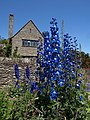 Delphiniums at Coleton Fishacre - geograph.org.uk - 1350896.jpg