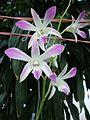 Dendrobium cultivar (2).JPG
