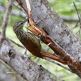 Dendroplex picus - Straight-billed Woodcreeper.JPG