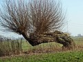 Der große Baum schaut Dich an ,-) - panoramio.jpg