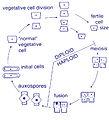 Diatom pennate life cycle.jpg