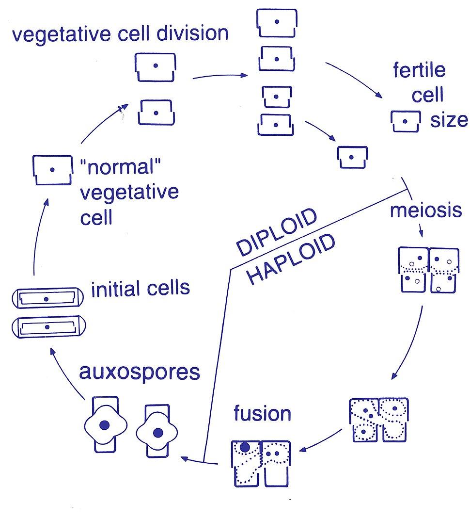 Diatom pennate life cycle
