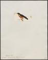 Dicaeum ignipectus - 1820-1860 - Print - Iconographia Zoologica - Special Collections University of Amsterdam - UBA01 IZ19000281.tif