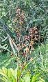 Dictamnus albus in La Jaysinia.jpg
