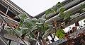Dioscorea mexicana 003.jpg