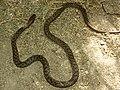 Dolichophis schmidti05.jpg