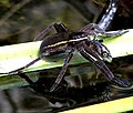 Dolomedes plantarius captured Pungitius laevis Turf pond, Redgrave and Lopham Fen National Nature Reserve, East Anglia.jpg