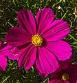 Dolomites - Dobbiaco area - garden flowers at Lago di Braies (11059080785).jpg