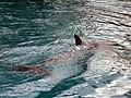 Dolphins (7980877732).jpg