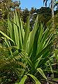Doryanthes palmeri 1.jpg