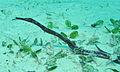 Double-ended Pipefish (Trachyrhamphus bicoarctatus) (8503045566).jpg