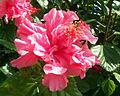 Double hibiscus02.jpg