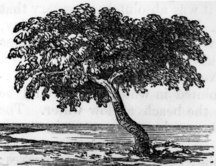 Sweers Island-History-Drawing of the Investigator tree on Sweers Island 1857.tiff