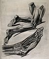 Drawing of the muscles in legs and feet Wellcome V0008871.jpg