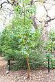 Drimys winteri - McConnell Arboretum & Botanical Gardens - DSC02988.JPG